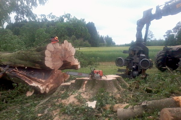 Problembaumfällung – starker, kranker Einzelbaum