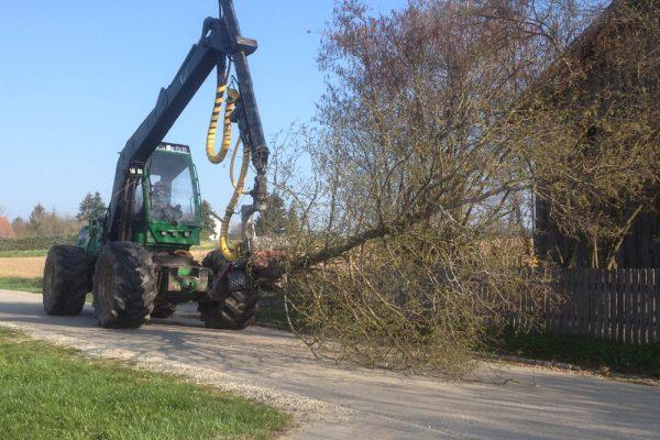 Der abgesägte Baum wird zum freien Platz an der Garagenzufahrt gebracht.